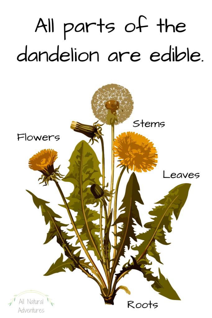 Fun Dandelion Facts For Kids - Edible Dandelions