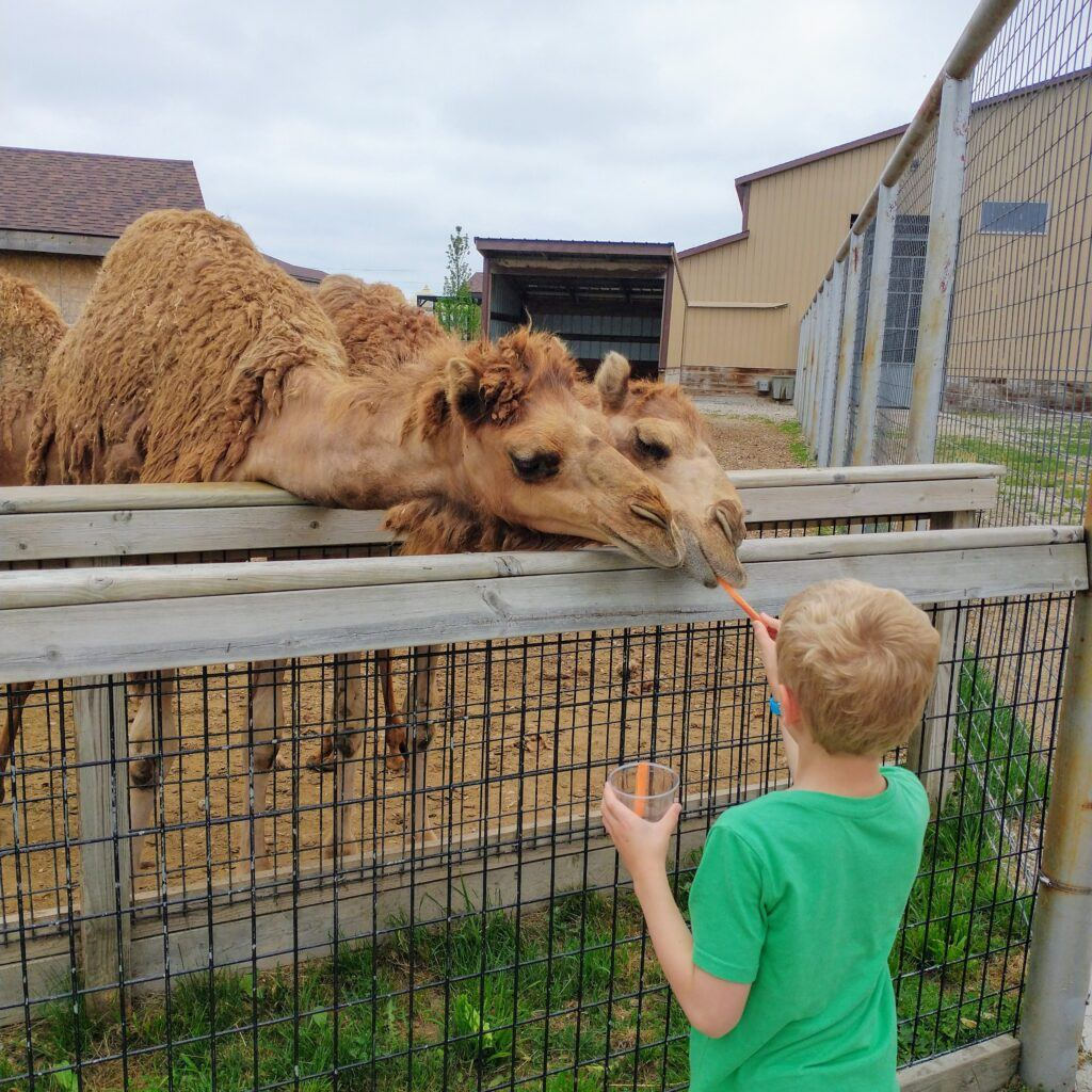 3 Awesome Zoos In Michigan To Feed Giraffes - Binder Park Zoo, Boulder Ridge Wild Animal Park, Detroit Zoo
