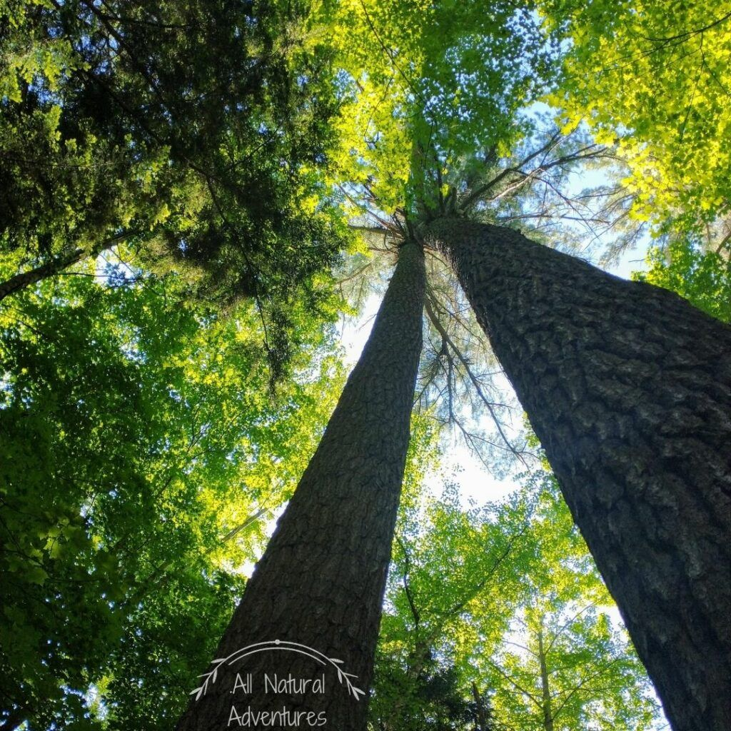 5 Amazing Benefits of Old Growth Forests - Hartwick Pines State Park, Michigan